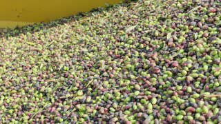 Olives in container after harvest