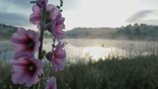 Pink flowers on a lake at sunrise