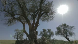 Sliding shot of old olive trees
