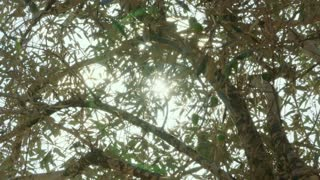 Sun shinning through branches of an Olive tree