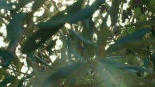 Sun shinning through Olive tree branches