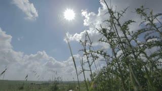 Thistles against the sun