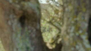 tracking shot of an Olive tree trunk