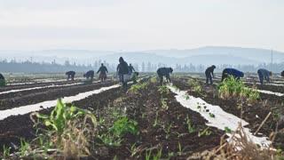 Farm workers planting watermelon plants in a field