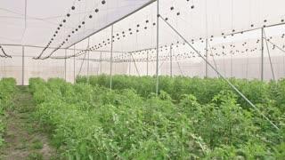 Farmer walking inside a greenhouse