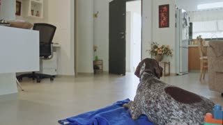 german pointer dog sitting inside a house
