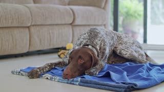 german pointer dog sitting inside a house
