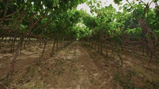 Grape vines growing under a net house in the Negev desert in Israel