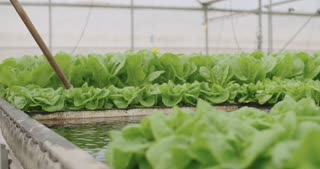 hydrophonic lattuce floating on water in a greenhouse