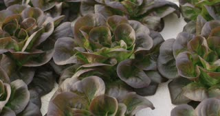 hydrophonic vegetables growing in a greenhouse