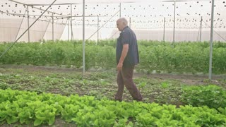 Steadycam shot of an old farmer walking in a greenhouse