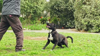 Super slow motion of a black dog catching a tennis ball