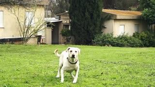 Super slow motion of a white dog catching a tennis ball