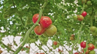 Tracking shot of Tomatoes in a greenhouse