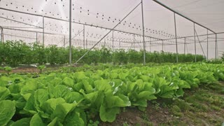 Vegetables growing in a greenhouse