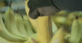 Worker cutting banana cluster to small batches during packing process