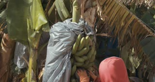 Workers harvest bananas in a plantation