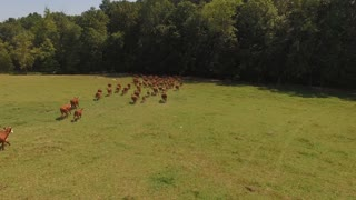 Herd Of Cows Stampeding Towards Forest