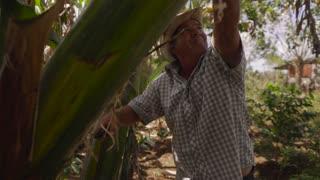 18-Man Farmer Cutting Banana Platano Tree With Machete In Cuba