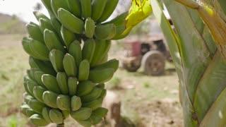 21-Banana Platano Tree And Men Farmers On Tractor