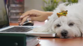 4-Business Woman Typing PC In Office With Dog Sleeping