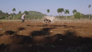 4-Man Farmer Working Hard Plowing The Soil With Ox