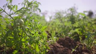 9-Farmer Walking In Tomato Field Inspecting Plants
