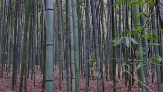 Bamboo Forest or Arashiyama Bamboo Grove, tourist site and attraction in Kyoto, Japan, Asia. Japanese landmark and top sights
