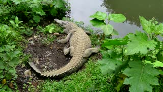 Crocodile Wild Animal Reptile Wildlife In Zoological Gardens Costa Rica