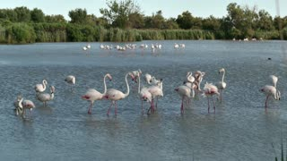 Flock of pink flamingos, birds in river waters in Camargue, southern France. Wild animals, French fauna, nature, wildlife