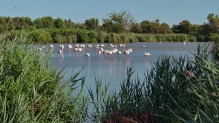 Flock of pink flamingos, birds in swamp in Camargue, southern France. Wild animals, French fauna, nature, wildlife