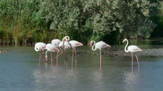 Flock of pink flamingos, birds in swamp water in Camargue, southern France. Wild animals, French fauna, nature, wildlife