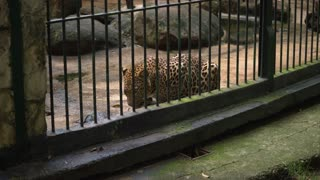 Happy Family Looking At Leopard During Visit In Zoo