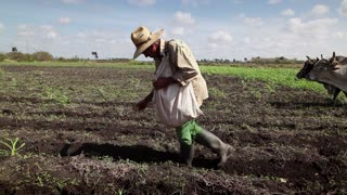 Heavy and manual work in the fields, farmers at work in ANAP cooperative farm sowing the ground and plowing, with tools and seeds in Guines, Cuba