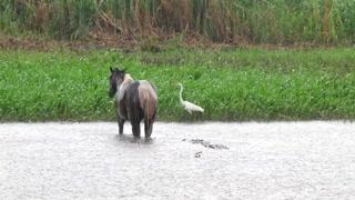 Horse Crocodile Bird Under Rain Storm Swimming In River Water