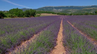 Lavender fields in Provence, southern France. Agriculture, French natural landscape, plant in blossom, flowers and farm during summer season