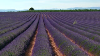 Lavender fields in Valensole, Provence, southern France. Agriculture, French natural landscape, plant in blossom, flowers and farm during summer season