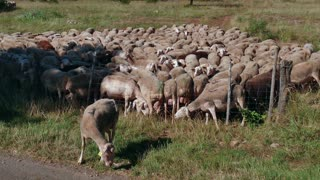Livestock grazing, flock of sheep eating grass inside fence in farm in southern France