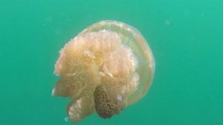 Palau Island Micronesia Pacific Ocean Jellyfish Lake Jellies In Water