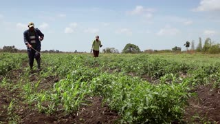 People and agriculture, two men at work as peasants spraying insecticide and pesticide against pest on plants in ANAP cooperative farm field in Guines, Cuba
