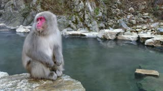 Snow monkeys or Japanese macaques (Macaca fuscata) at Jigokudani Monkey Park in Japan, Asia. Japanese wildlife, Asian wild animals, primates in nature
