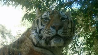 Tiger looking at camera. Asian wildlife in zoological gardens, wild animal in zoo