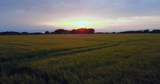 Aerial view at sunset of wheat fields for cereals production on Isle of Man. Nature, agriculture in countryside, landscape, natural beauty seen from drone flying in sky at sundown