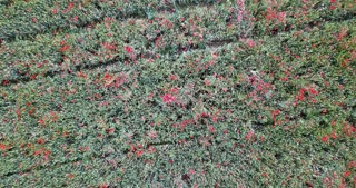 Aerial view of wheat fields full of red poppy flowers for cereals production in Northern Italy. Nature, agriculture in Italian countryside, landscape, natural beauty seen from drone flying in sky