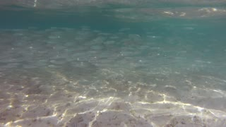 Baby blacktip reef shark (Carcharhinus melanopterus) hunting fish in shallow sea waters in the Maldives, Asia, Indian Ocean. Marine life, tropical fish on reef. Natural environment, nature, ecology