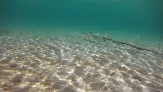 Baby blacktip reef shark (Carcharhinus melanopterus) swimming with tangled rope in shallow sea water of the Maldives, Asia, Indian Ocean. Marine life on coral reef. Fish, wild animals, wildlife