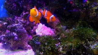 Clownfish swimming in aquarium in Tokyo, Japan, Asia. Tropical marine life in sea water