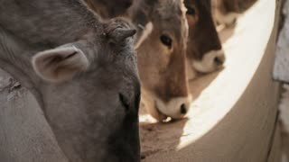 Cows Eating Food Animals In Farm Livestock Feeding