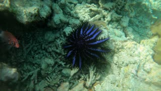 Crown-of-thorns starfish (Acanthaster planci) or COTS feeding on reef corals in shallow sea water, inflicting extensive damage. Marine life, coral reefs in Maldives, Indian Ocean