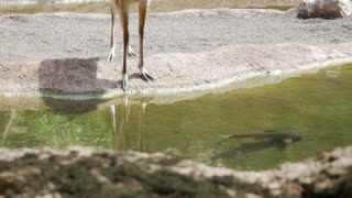 Deer And Fish In Bioparc Of Valencia
